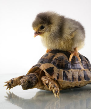 chick-on-tortoise